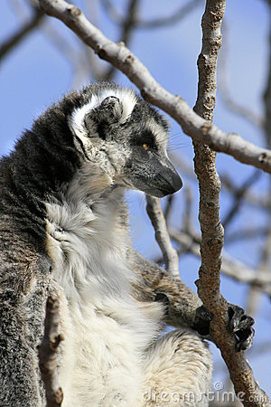 Exotic endangered animal - Lemur