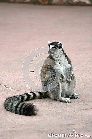 Free Exotic Endangered Animal - Lemur Royalty Free Stock Image - 4619596
