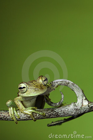 Exotic golden tropical tree frog amazon amphibian