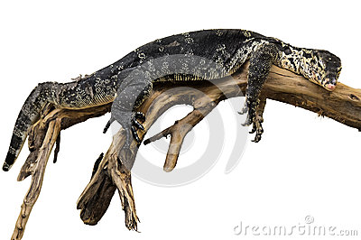 Exotic reptile on the branch