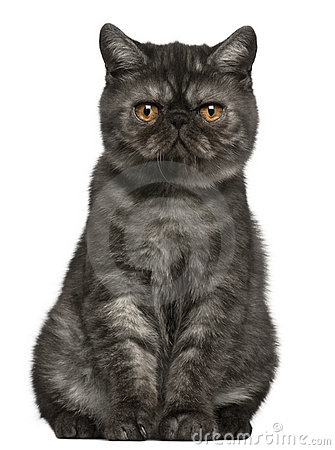 Exotic Shorthair kitten, 4 months old, sitting