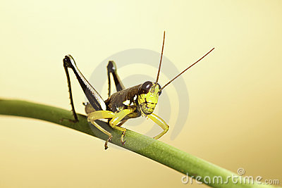 Exotic tropical grasshopper insect background