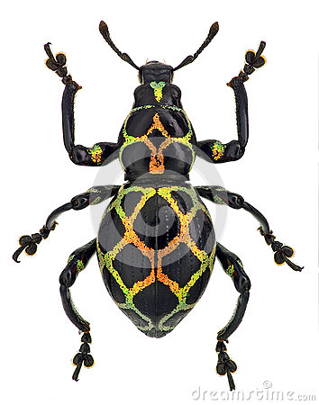 Free Exotic Weevil Pachyrhynchus Reticulatus Stock Photography - 38960252