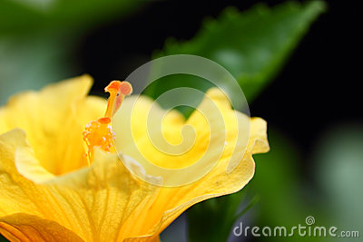 Exotic yellow hibiscus flower closeup