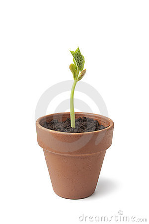 Expanding bean plant