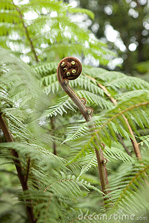 Expanding young fern