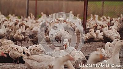 Exploração agrícola do ganso Muitos gansos são de assento ou de vagueamento em torno do prado video estoque