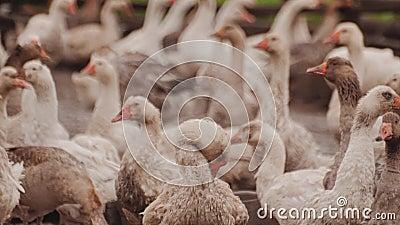 Exploração agrícola grande do ganso Muitos gansos fora da cerca poultry video estoque