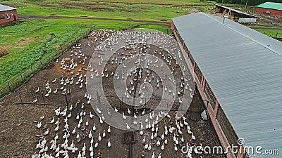 Exploração agrícola grande do ganso Um grande rebanho dos pássaros está correndo em um sentido poultry filme