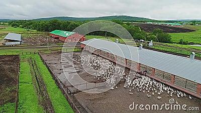 Exploração agrícola para gansos da criação de animais Ideia aérea do movimento Um grande rebanho dos gansos que correm na terra video estoque