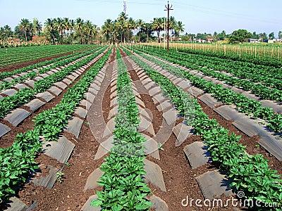Exploração agrícola vegetal