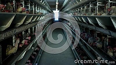 A exploração avícola, galinhas senta-se em gaiolas ao ar livre e come-se alimentação misturada, em ovos do ` s da galinha da ment vídeos de arquivo