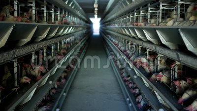 A exploração avícola, galinhas senta-se em gaiolas ao ar livre e come-se alimentação misturada, em ovos do ` s da galinha da ment video estoque