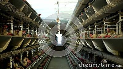 A exploração avícola, galinhas senta-se em gaiolas ao ar livre e come-se alimentação misturada, em ovos do ` s da galinha da ment filme