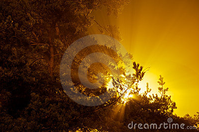 Explosion of sun streaks shining through pine