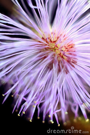 Explosive  view of Mimosa pudica inflorescence