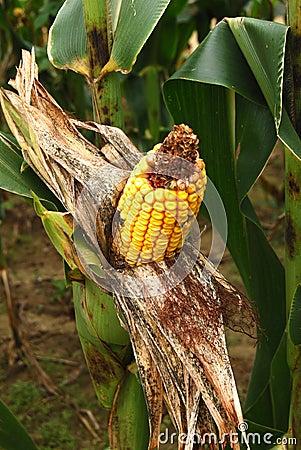Exposed peeled back corn on a stalk