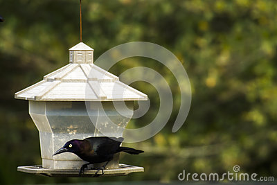 Grackle bird on bird feeder