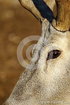 Expressive eyes-deers