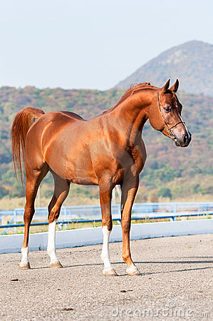 Exterior of chestnut arabian horse stallion