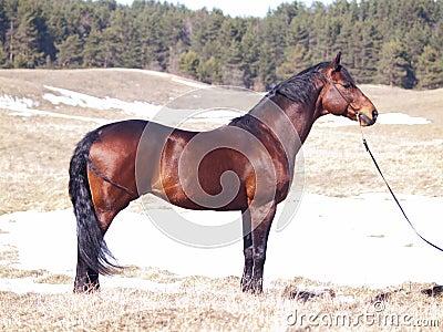 Exterior of trakehner horse
