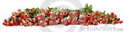 Extra large horizontal strip of rose