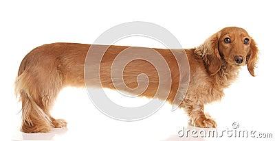 Extra long dachshund