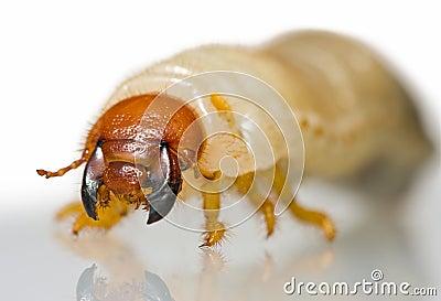 Extreme close up of beetle larvae