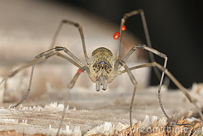 Extreme close-up of harvestman