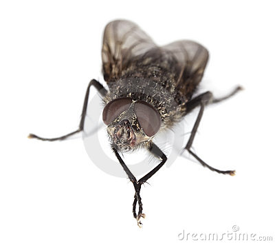 Extreme close-up of House fly isolated on white