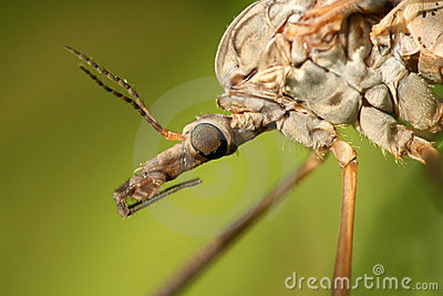 Extreme closeup of cranefly