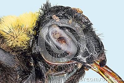 Extreme macro bumble bee