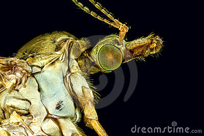 Extreme macro of a female crane fly