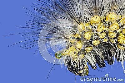Extreme macro giant silkworm caterpillar