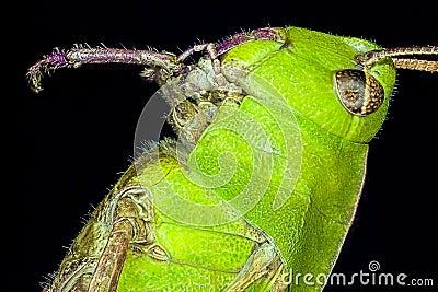 Extreme macro grasshopper