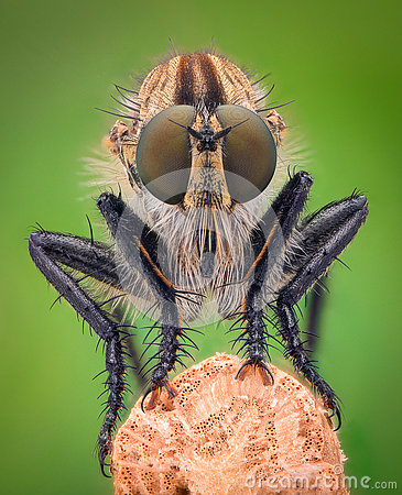 Free Extreme Magnification - Robber Fly Royalty Free Stock Photos - 75324238