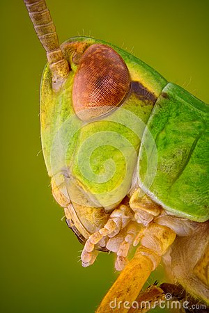 Free Extreme Sharp And Detailed Macro Portrait Of Green Grasshopper Head Taken With Microscope Objective Stock Photos - 34894343