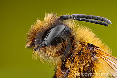 Extreme sharp and detailed study of Bee