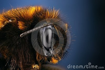 Extreme sharp and detailed study of bumble bee
