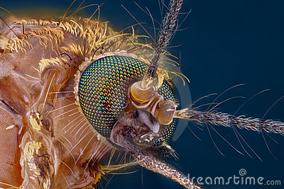 Extreme sharp and detailed study of mosquito head