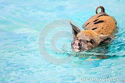 猪游泳在exuma附近巴哈马海岛的水中.图片