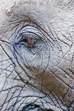 Eye of African Elephant