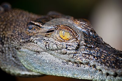Eye of alligator