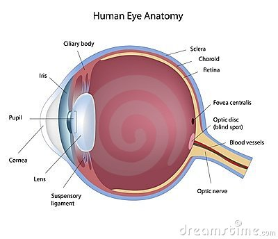 Eye Anatomy Stock Photography - Image: 19891452
