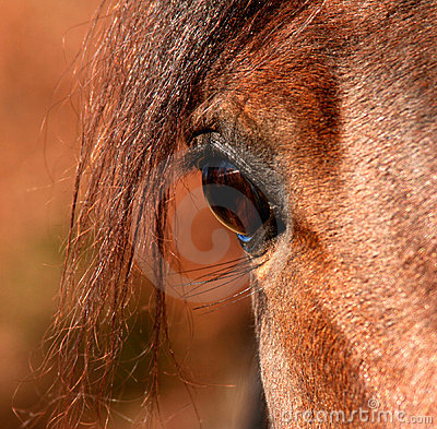 Eye of a Arabian Stallion