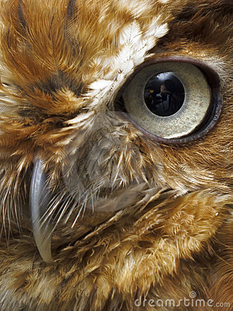 Eye and beak of brown owl