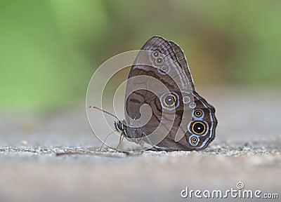 Eye butterfly 【Lethe diana (Butler) 】