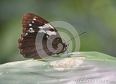 Eye butterfly (Penthema adelma Felder