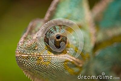 Eye of chameleon