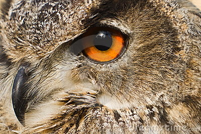 Eye close up eagle owl